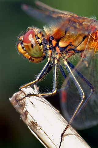 iPhone Wallpaper Dragonfly close-up, wings, insect