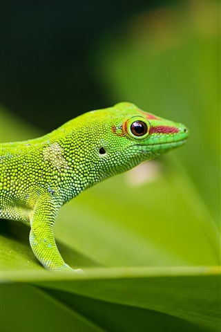 iPhone Wallpaper Green lizard, green leaf, wildlife