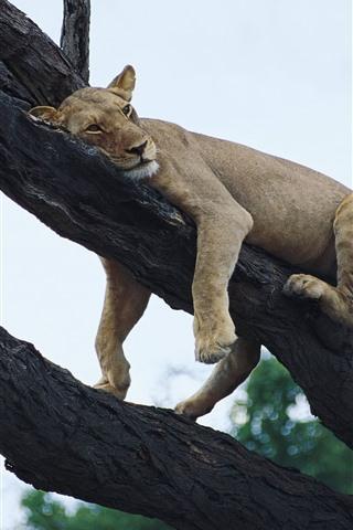 iPhone Wallpaper Lion sleep on the tree, sky, height