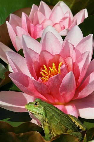 iPhone Wallpaper Pink water lily flowers, frog
