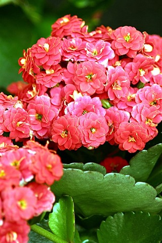 iPhone Wallpaper Red kalanchoe flowers, green leaves