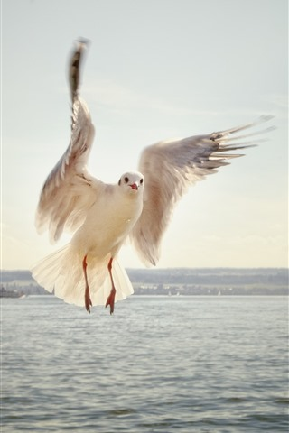 iPhone Wallpaper Seagull, flight, wings, sea