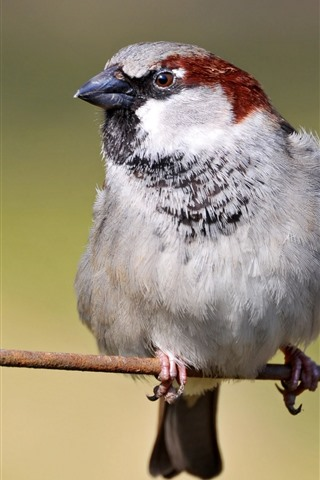 iPhone Wallpaper Sparrow, wire