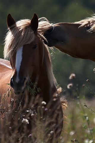 iPhone Wallpaper Two brown horses, wildflowers