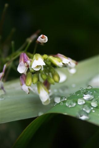 iPhone Wallpaper Dew, green leaf, little flowers
