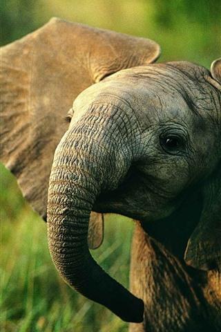 iPhone Wallpaper Elephant baby, wildlife