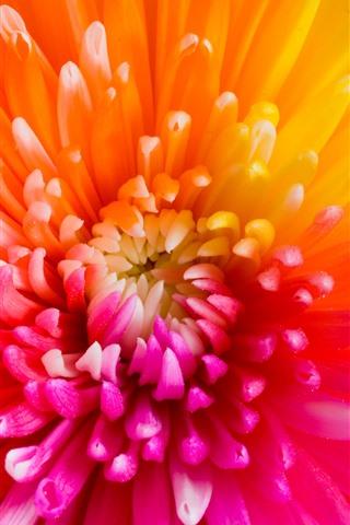 iPhone Wallpaper Gerbera, colorful petals, orange, red, yellow, purple