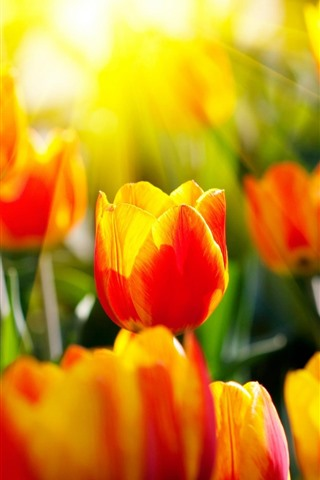 iPhone Wallpaper Red yellow petals tulips, sun rays, glare