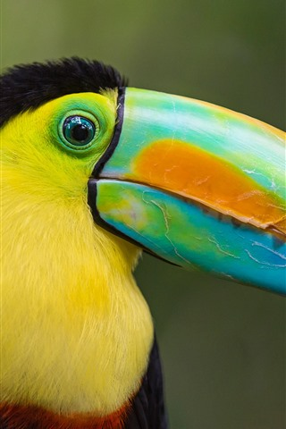 iPhone Wallpaper Toucan, big beak, colorful, head, eye