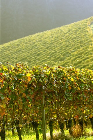 iPhone Wallpaper Vineyard, green, slope, sunshine