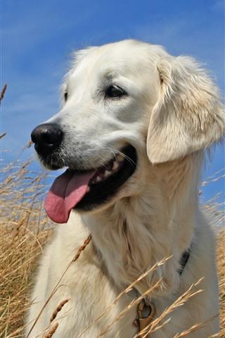 iPhone Wallpaper White dog, grass, summer