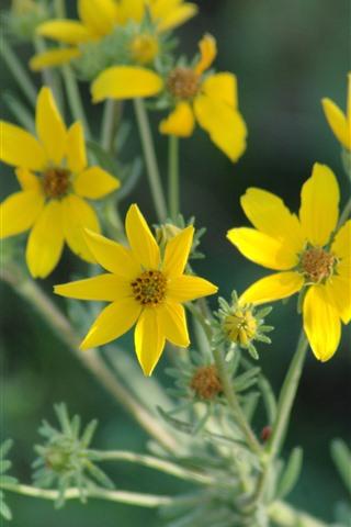 iPhone Wallpaper Yellow wildflowers, petals, stem