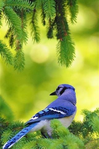 iPhone Wallpaper Blue feather bird, pine tree, green twigs