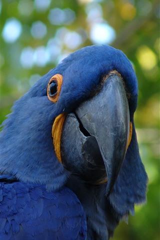 iPhone Wallpaper Blue macaw, beak, hazy