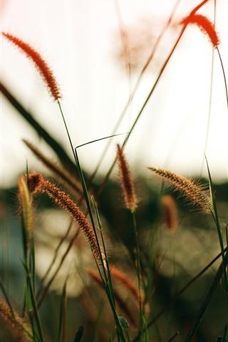 iPhone Wallpaper Grass close-up, hazy, nature scenery