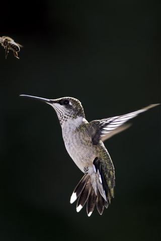 iPhone Wallpaper Hummingbird, bee, black background