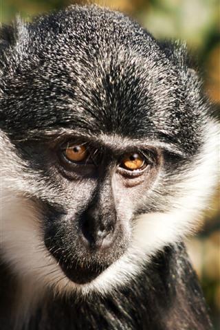 iPhone Wallpaper Monkey, sunshine