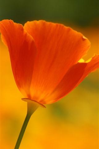iPhone Wallpaper One orange poppy flower close-up