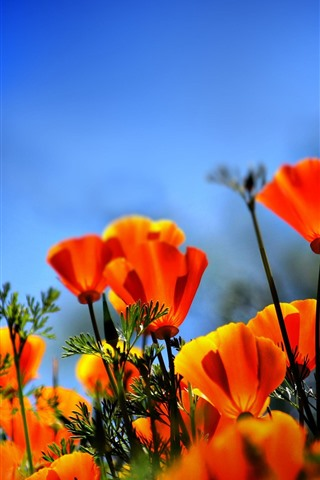 iPhone Wallpaper Orange poppy flowers field, hazy