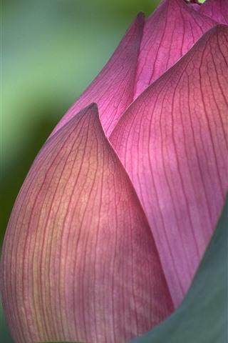 iPhone Wallpaper Pink lotus bud macro photography