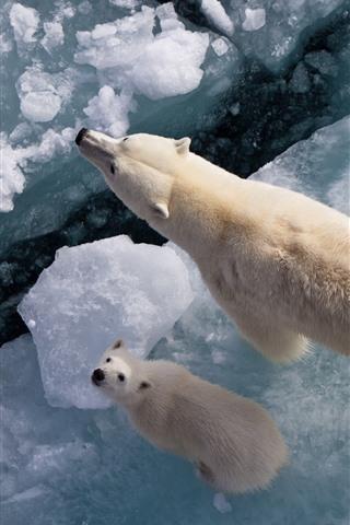 iPhone Wallpaper Polar bears, ice, sea, top view
