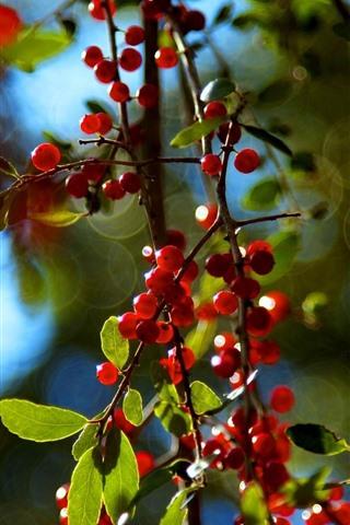 iPhone Wallpaper Red berries, twigs, hazy