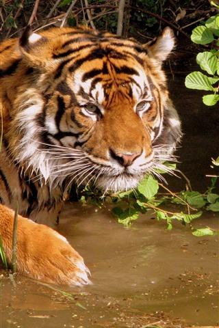 iPhone Wallpaper Tiger, water, wildlife