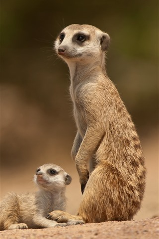 iPhone Wallpaper Two meerkats, look at bee