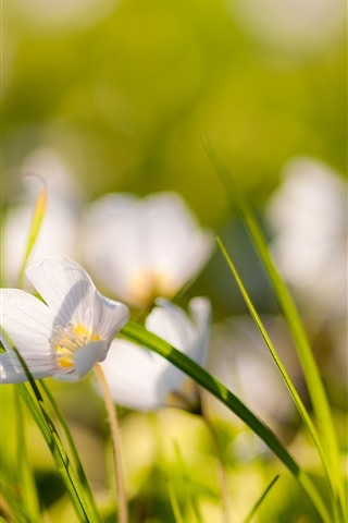 iPhone Wallpaper White flowers, green grass leaves, hazy