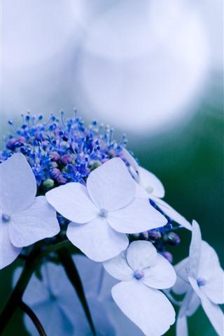 iPhone Wallpaper White hydrangea flowers, hazy background