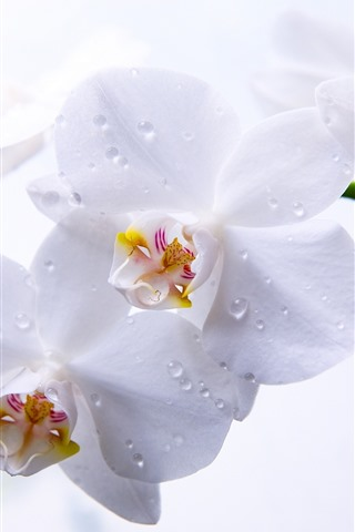 iPhone Wallpaper White phalaenopsis, water droplets, petals