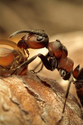 iPhone Wallpaper Ant eat dew, water droplet, insect macro photography