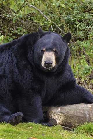 iPhone Wallpaper Black bear, wood