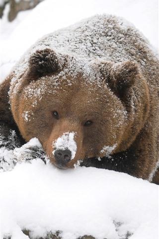 iPhone Wallpaper Brown bear, look, snow, winter