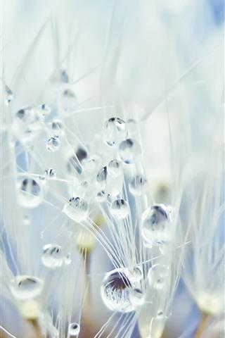 iPhone Wallpaper Dandelion, water droplets, dew