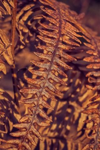 iPhone Wallpaper Dry fern leaves
