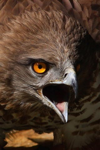 iPhone Wallpaper Eagle, beak, angry