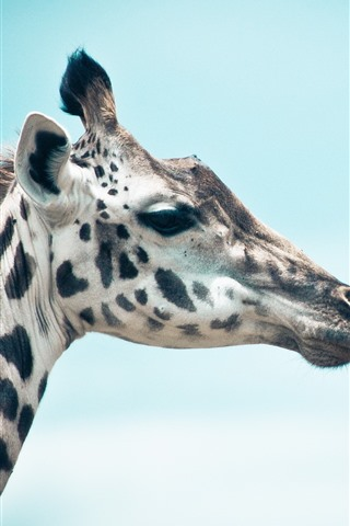 iPhone Wallpaper Giraffe, head, blue sky background