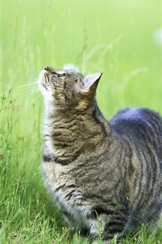 iPhone Wallpaper Gray cat look up, green grass