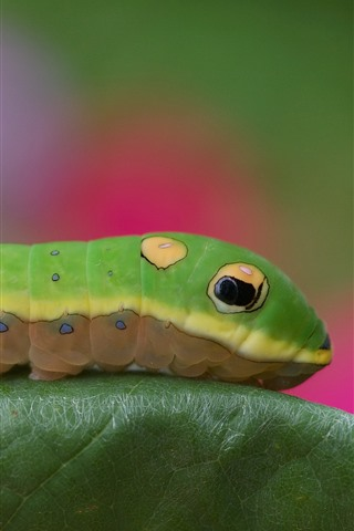iPhone Wallpaper Green caterpillar, leaf, insect