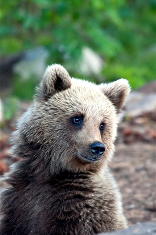 iPhone Wallpaper Little brown bear look at you, wildlife