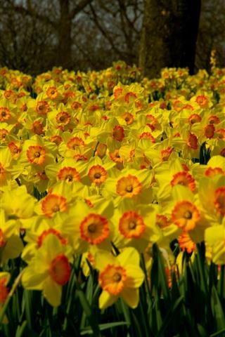 iPhone Wallpaper Many yellow daffodils flowers, garden