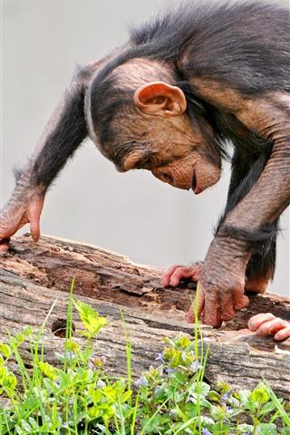 iPhone Wallpaper Monkey, wood, find something
