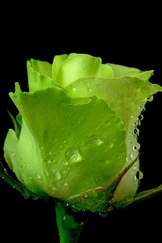 iPhone Wallpaper One green rose, water droplets, black background