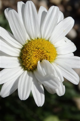 iPhone Wallpaper One white daisy close-up, petals