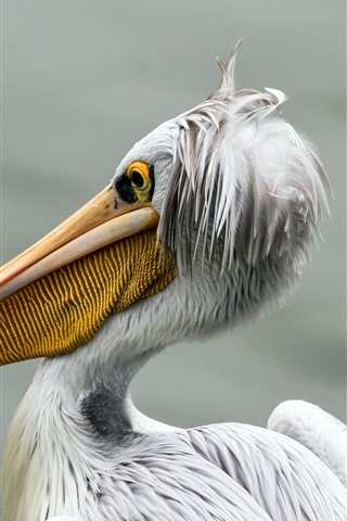 iPhone Wallpaper Pelican, bird close-up, beak, white feathers