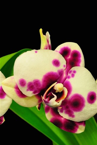 iPhone Wallpaper Pink and white spot phalaenopsis, green leaves, black background