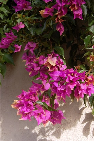 iPhone Hintergrundbilder Rosa Bougainvillea, Wand