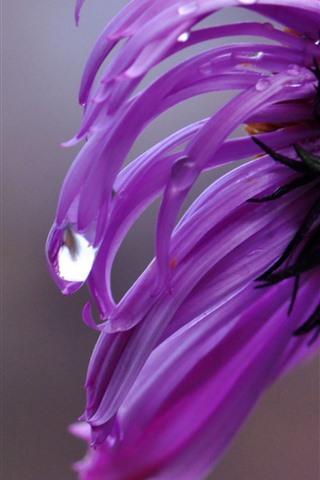 iPhone Wallpaper Pink chrysanthemum close-up, petals, water droplets