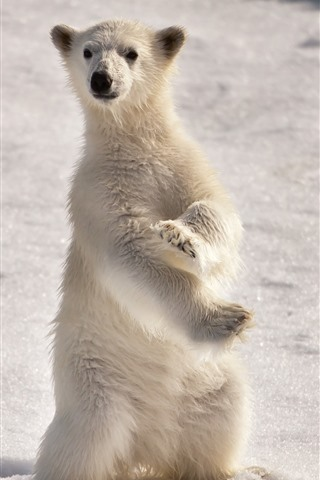 iPhone Wallpaper Polar bear cub, standing up